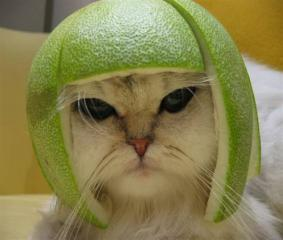 Attached Image: Cat with Lime.jpeg