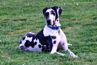 Attached Image: Angie the Great_Dane.jpg