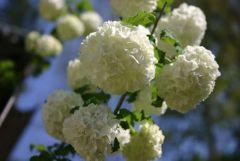 Snowball 044