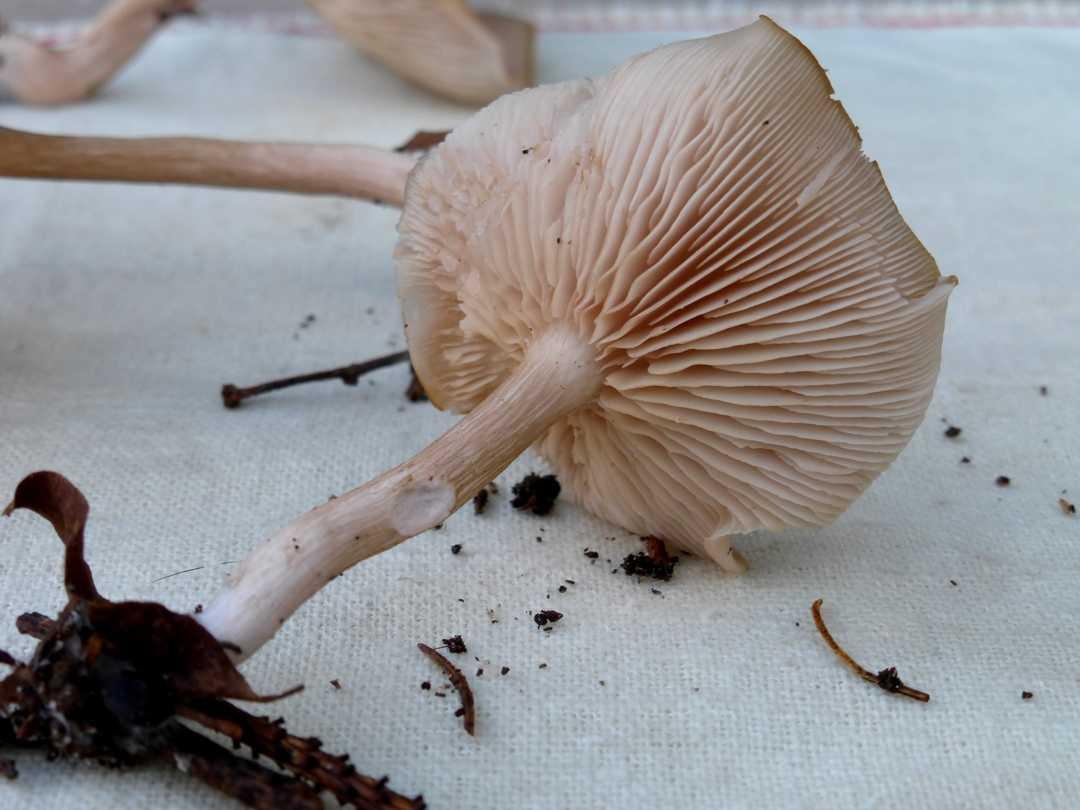 Bubbadoo's Mushrooms