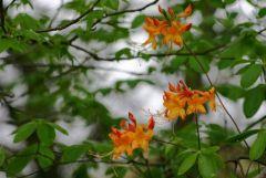 Native Azalea025