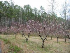 Peach Blooms all Around....
